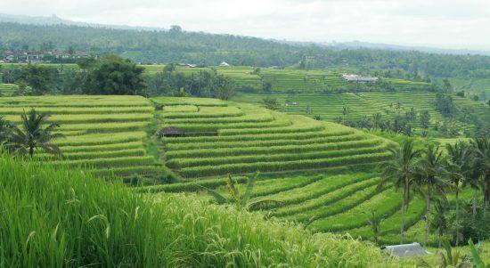 Ilustrasi Subak Bali yang hari ini dirayakan Google lewat Doodle, karena telah terdaftar di UNESCO pada 12 tahun lalu sebagai warisan budaya dunia. Foto: Kemdikbud