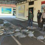 Polda Bali menggagalkan penyelundupan 36 ekor penyu di Perairan Serangan dan menangkap 7 orang pelaku. Foto: Lintasnusanews.com/Istimewa