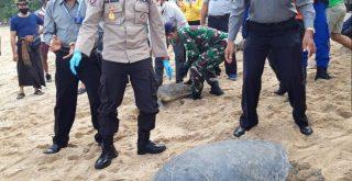 25 ekor Penyu hijau hasil tangkapan Polda Bali dilepasliarkan di Pantai Kuta Bali. Foto: Lintasnusanews.com/Widodo
